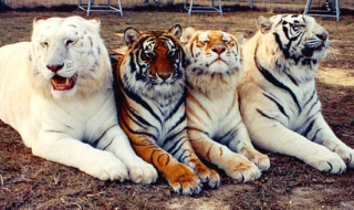 four color beautiful tigers